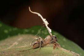 cordyceps zombie ant